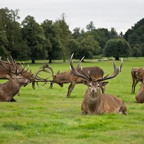Deer by Peter Spowage - Animals Other Mammals ( deer )