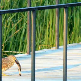 gone fishing by Rita Flohr - Novices Only Wildlife ( bird, nature, black-crowned night heron, fish, bridge, heron )
