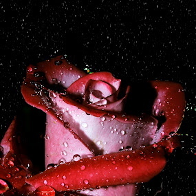 just rose by Anand Kumar - Nature Up Close Flowers - 2011-2013 ( rose, red, petals, close up, water droplets, flower )