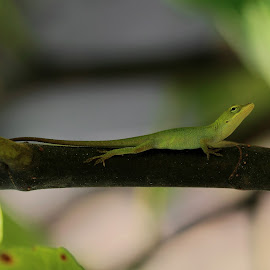 Baby Anole  by Abbey Gatto - Animals Reptiles ( anolis carolinensis, reptiles, animals, anole, nature, macro photography, green anole, wildlife, carolina anole )
