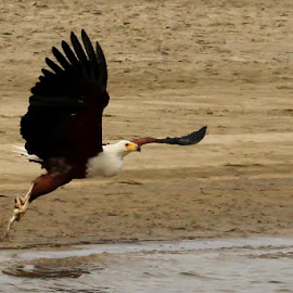 Fish Eagle  by Jinny Armstrong - Novices Only Wildlife