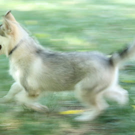 Atticus Blue Running by Monica Hayden-Carroll - Animals - Dogs Running ( puppies, malamute )