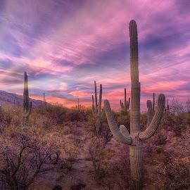 Desert Morning by Charlie Alolkoy - Landscapes Deserts ( desert, sunset, arizona, tucson, sunrise, cactus )