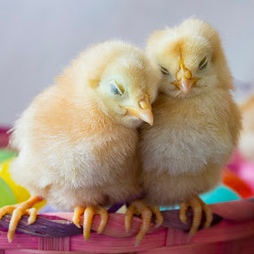 by Brandi Nichols - Public Holidays Easter ( farm, bird, easter, poultry, chickens, birds, chicks, improving mood, moods, red, love, the mood factory, inspirational, passion, passionate, enthusiasm,  )