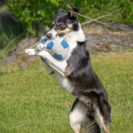 My ball! by Astrid Kallerud - Animals - Dogs Playing ( bordercollie, dog playing, pet photography, dog, border collie, pet )