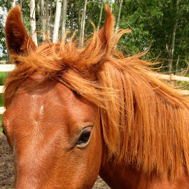 Shy Filly by Linda Doerr - Animals Horses ( filly, orange, copper, horse, pretty, young,  )