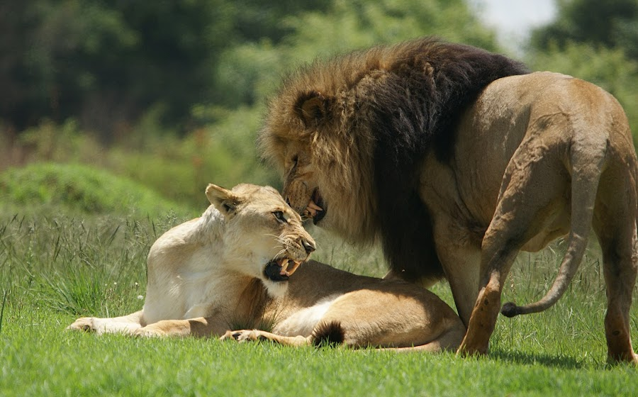 Not in the mood by Charmane Baleiza - Animals Lions, Tigers & Big Cats ( charmane baleiza, lion, big cats, lioness, lions mating, wildlife )