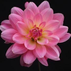 Autumn Pink by Gillian James - Flowers Single Flower ( petals, pink, close up, dahlia, flower )