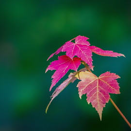 autumn leaves in spring by Peter Schoeman - Nature Up Close Leaves & Grasses ( harmony, beauty, textures, flora, red, beautiful, botanical, leaves, golden, season, decoration, seasons, vibrant, vein, backdrop, natural, tree, warm, closeup, background, plant, autumn, detail, colorful, frame, forest, color, seasonal, botany, bright, isolated, pattern, yellow, vivid, fall, oak, organic, leafage, green, set, nature, texture, abstract, leaf, orange, foliage, outdoors, maple, colourful, wild )