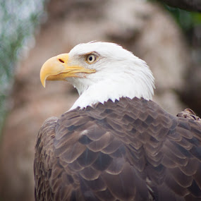 Bald Eagle at the Memphis Zoo by Mary Phelps - Animals Birds ( bird, memphis, bird of prey, eagle, zoo, bald eagle, tennessee, memphis zoo, birds,  )