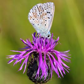 Argus bleu sur fleur violette by Gérard CHATENET - Animals Insects & Spiders