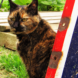 cookie by Jennifer Ablicki - Animals - Cats Playing ( yard, totie, cat, farm, calico, texaco )