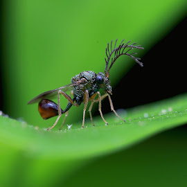 Eucharitid Wasp by Paramasivam Tharumalingam - Animals Insects & Spiders ( macro, wasp, nature up close, insect, close up )
