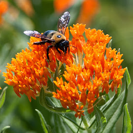 Carpenter Bee On Butterfly Weed by Kathleen Otto - Animals Insects & Spiders