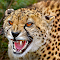 Cheetah close up.jpg