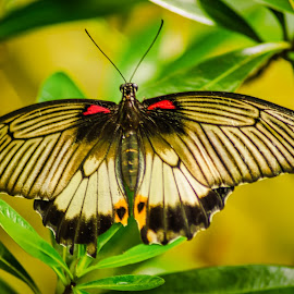 Butterfly by Keith Walmsley - Animals Insects & Spiders ( wild, butterfly, colourful, nature, wings, insect, natural )