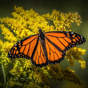 Monarch On Golden Rod by Roy Walter - Animals Insects & Spiders ( wild, butterfly, monarch, fall, insect )