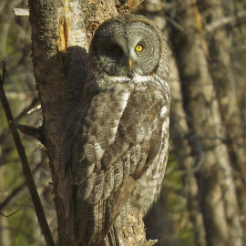 Great Gray by Shane Lusk - Novices Only Wildlife ( idaho, national forest, great gray owl, rigby, owl, wildlife )