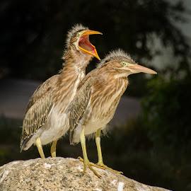Mom make him stop! by VJ Thomas - Animals Birds ( babies, animals, green herons, squabling, birds )