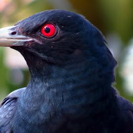 Cuckoo  by Raj Sarkar - Animals Birds