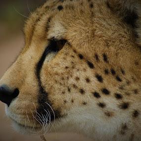 Cheetah hunting  by Jason C Robinson - Animals Lions, Tigers & Big Cats ( close up, africa, closeup, spots, cheetah, big cat )