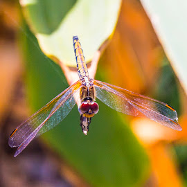DragonFly - Yellow by Adriaan Vlok - Animals Insects & Spiders ( yellow dragonfly, dragon fly, dragonfly )