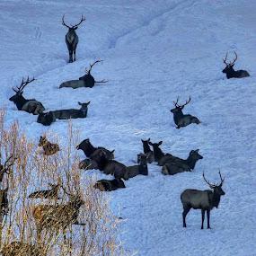 Elk by D.j. Nichols - Instagram & Mobile Android ( winter, elk )