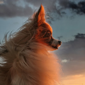 Papillon by Bernarda Bizjak - Animals - Dogs Portraits ( , color, colors, landscape, portrait, object, filter forge, #GARYFONGDRAMATICLIGHT, #WTFBOBDAVIS )