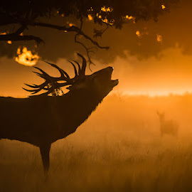 The call by Stephen Darlington - Animals Other Mammals ( cervus elaphus, england, red deer, 2014, bushy park, wild woods, vertebrate, surrey, united kingdom, mammal, british seasons )