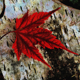 Maple Leaf by Debbie Squier-Bernst - Nature Up Close Leaves & Grasses