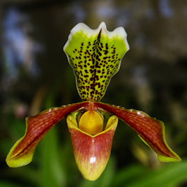 by Kris Pate - Flowers Single Flower ( fauna, flora, colorful, green, white, orchidaceae, yellow, pretty, colour, colourfull, colourful, orchid, color, brown, slipper orchid )