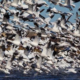The Migration by Joe Chowaniec - Animals Birds ( bird, migration, snow geese, wildlife, geese, birds )
