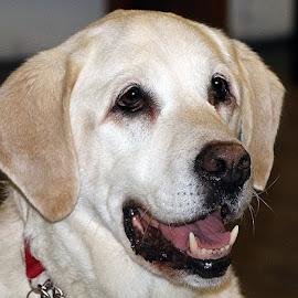 Elderly Marley by Chrissie Barrow - Animals - Dogs Portraits ( labrador retriever, pet, male, ears, dog, nose, golden, tan, cream, portrait, eyes )