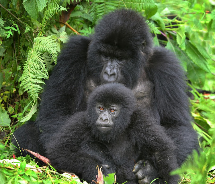 Dad and son gorilla