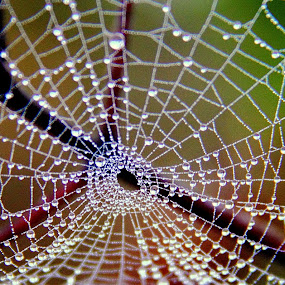 Water drops on web by Shrikrishna Bhat - Nature Up Close Webs ( water drops, pattern, spider, web, sakleshpura, , spiderweb )