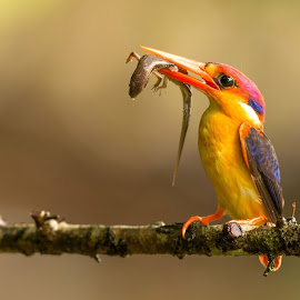 ODKF by Girish Muchal - Animals Birds ( odkf with skink kill )