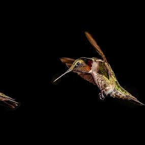Hummingbird by Luke Popwell - Novices Only Wildlife ( bird, flight, nature, hummingbird, fast, small, flower, animal )