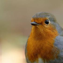 Portrait de robin by Cédric Guere - Animals Birds ( bird, wild, robin, red, tree, nature, white, wildlife, forest, cute, animal )