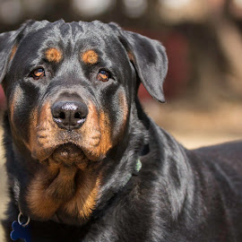 What by Patricia Konyha - Animals - Dogs Portraits ( dogs, rottweiler )