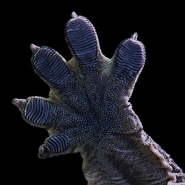 Leachianus Gecko Foot Detail by Gareth Dickin - Animals Reptiles ( lizard, scales, foot, toes, claws, reptile, skin, black )