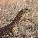 Argus Monitor/Yellow-spotted Monitor