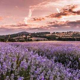 Lavender by Daniel Chobanov - Nature Up Close Other plants ( clouds, spectacular, purple, sunrise, morning, lavender )