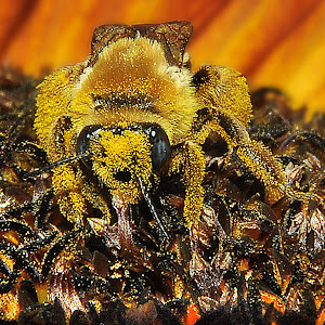 Fuzzy Bee.jpg
