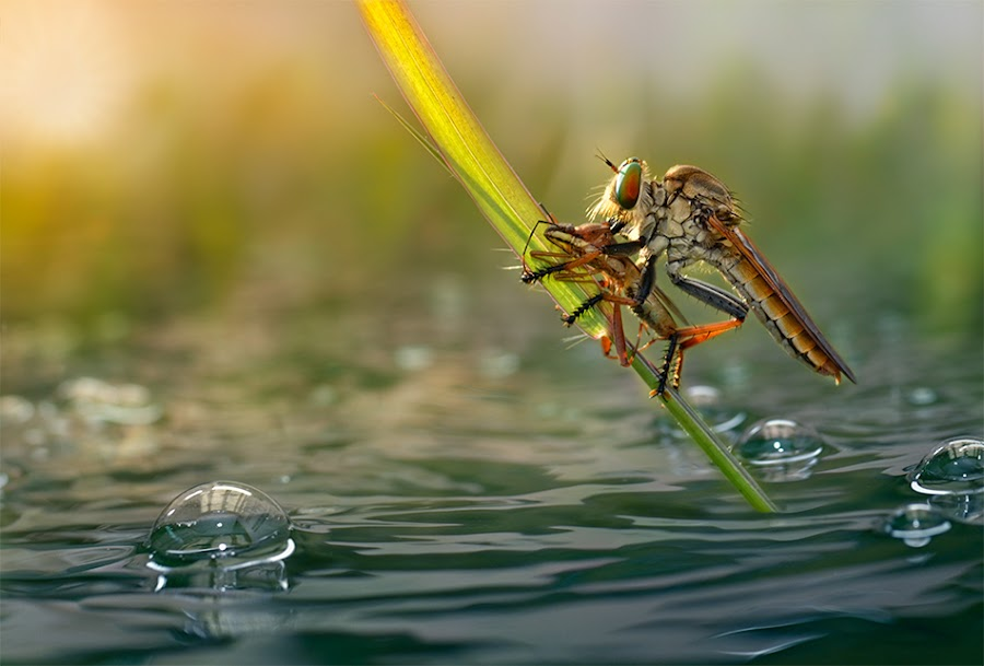 Breakfast by Fahmi Bhs - Digital Art Things ( water, bubble, nature, robberfly )