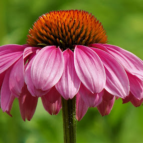 Pink coneflower by Mary Gallo - Flowers Single Flower ( coneflower, nature, single flower, pink flower, flower,  )
