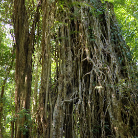 Strangler Fig Roots by Peter Keast - Nature Up Close Trees & Bushes ( tree, roots, tropical, rainforest )