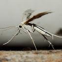 Horehound Plume Moth
