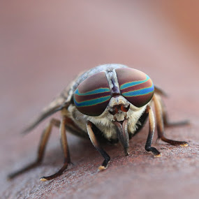 by Ron Harper - Animals Insects & Spiders ( horse fly oklahoma macro eye )