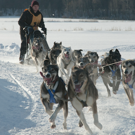 by Claude Hudon - Sports & Fitness Snow Sports ( sled dogs, winter, outdoor )