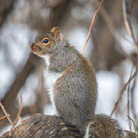 Hungry Squirrel by Kristin Kokkila - Animals Other Mammals ( minnesota, winter, nature, minneapolis, snow, kokkilaphotography, squirrel )
